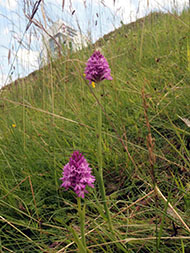 Pyramidal Orchids in Bracknell Town Centre